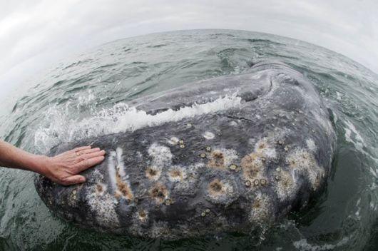 بالصور اكبر حيوان في العالم , تعرف على اكبر حيوان بالعالم 3829 10