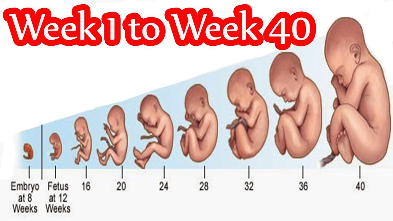 بالصور حساب الحمل بالاسابيع , تعلم طريقة حساب الحمل 3967 2