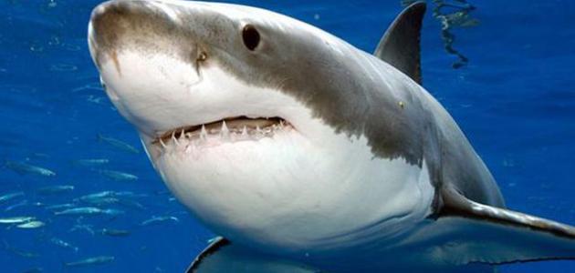 صور صور سمك القرش , صور القرش اشرس الحيوانات البحرية