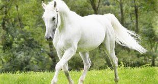 صور زمن الخيول البيضاء , اجمل صور للخيول العربية الاصيله باللون الابيض