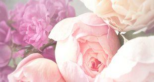بالصور صور خلفيات ورد , اجمل الخلفيات الوردية الرائعه 4303 10 310x165