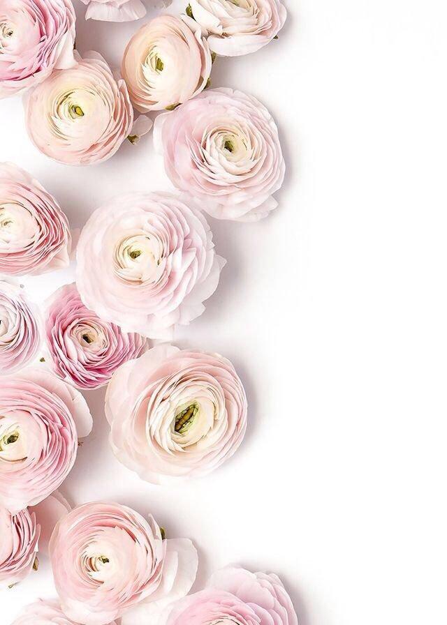 بالصور صور خلفيات ورد , اجمل الخلفيات الوردية الرائعه 4303 2