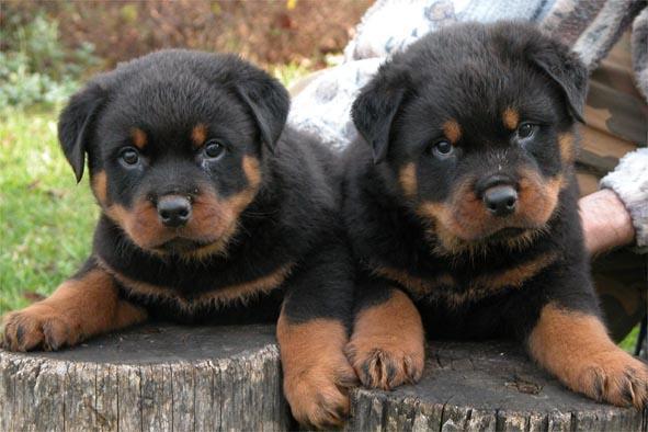 بالصور اخطر انواع الكلاب , بالصور اخطر اشرس انواع الكلاب في العالم 6005 11