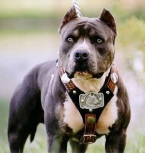 بالصور اخطر انواع الكلاب , بالصور اخطر اشرس انواع الكلاب في العالم 6005 12