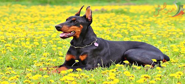 بالصور اخطر انواع الكلاب , بالصور اخطر اشرس انواع الكلاب في العالم 6005 13