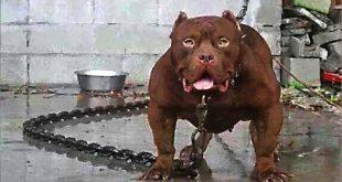 صور اخطر انواع الكلاب , بالصور اخطر اشرس انواع الكلاب في العالم