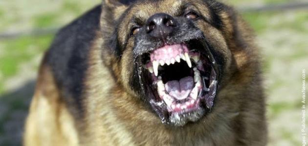 بالصور اخطر انواع الكلاب , بالصور اخطر اشرس انواع الكلاب في العالم 6005 2