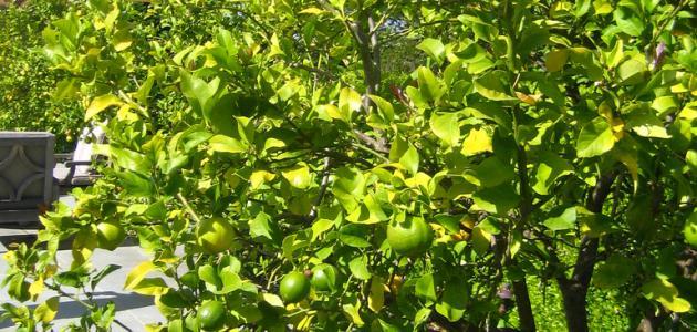 بالصور تفسير حلم شجرة الليمون الاخضر , معني ظهور شجر اليمون الاخضر بالحلم 11326 2