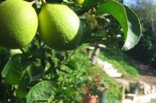 صور تفسير حلم شجرة الليمون الاخضر , معني ظهور شجر اليمون الاخضر بالحلم