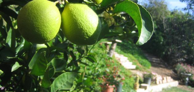 صورة تفسير حلم شجرة الليمون الاخضر , معني ظهور شجر اليمون الاخضر بالحلم