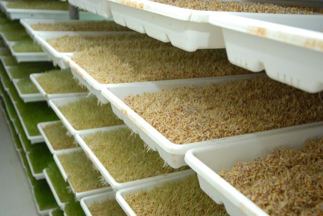 صورة طريقة زراعة الشعير المستنبت , استنبات الشعير بطريقة سهلة جدا
