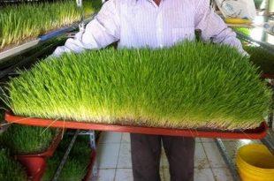 صور طريقة زراعة الشعير المستنبت , استنبات الشعير بطريقة سهلة جدا