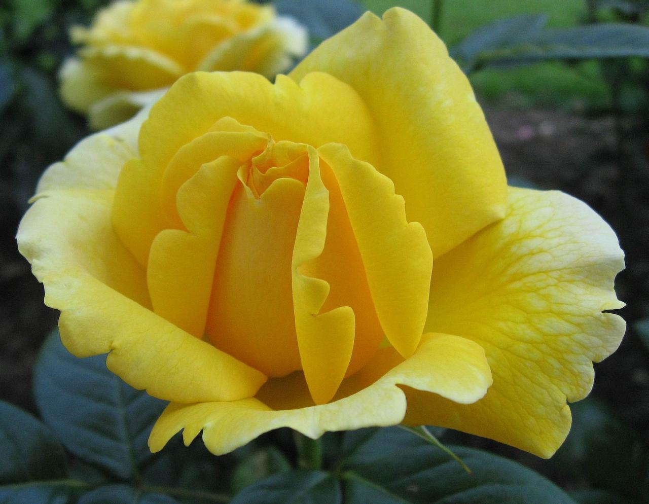 صور ورد اصفر وابيض , صور ورد اصفر وابيض جميله