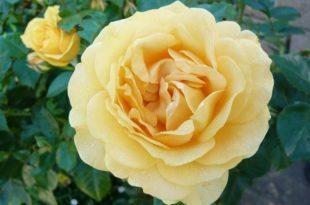 صور صور عن الورد , اليكم باقه من الصور المميزه عن الورود