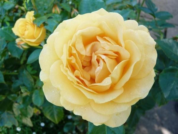 صورة صور عن الورد , اليكم باقه من الصور المميزه عن الورود