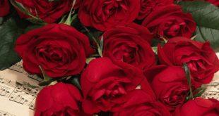 صور صور ورد جديد , الورد نبات ناعم وحساس